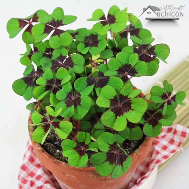گیاه آپارتمانی اگزالیس