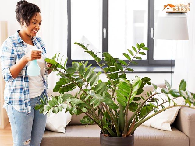 گیاه آپارتمانی زاموفیلیا
