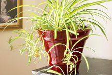۱۰ نوع از گیاهان آپارتمانی اتاق خواب [ زبان مادرشوهر ، سوسن صلح ، پیچک انگلیسی ]